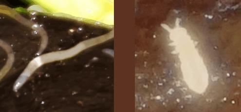 enchyträen weißer wurm springschwanz wurmkiste wurmkomposter kompostwurm